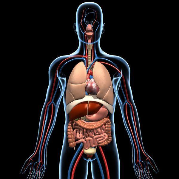 Risultati Immagini Per 3d Model Human Anatomy Free Disegni
