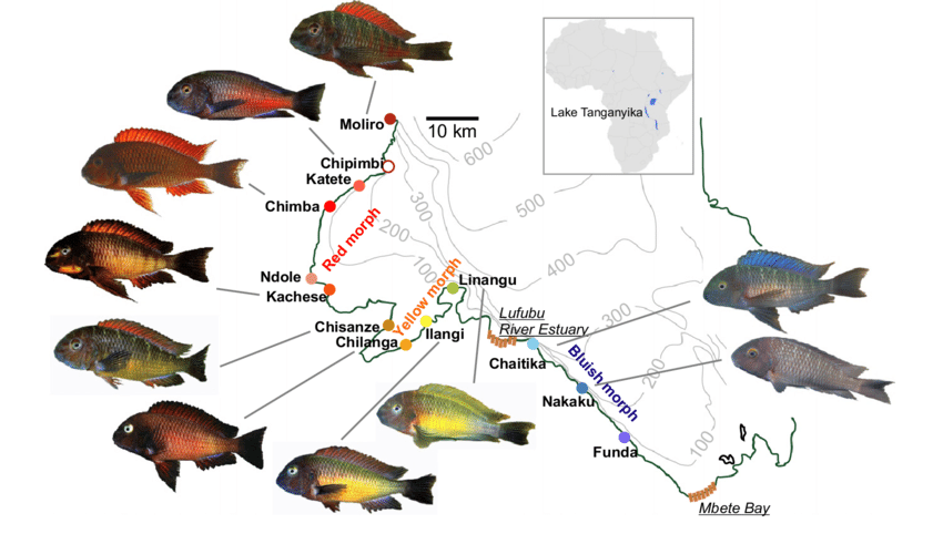 Tropheus Moorii Populations From Southern Lake Tanganyika Lake Tanganyika Lake Cichlids