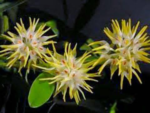 Flores Exóticas, Belas e Raras: Orquídeas Estranhas