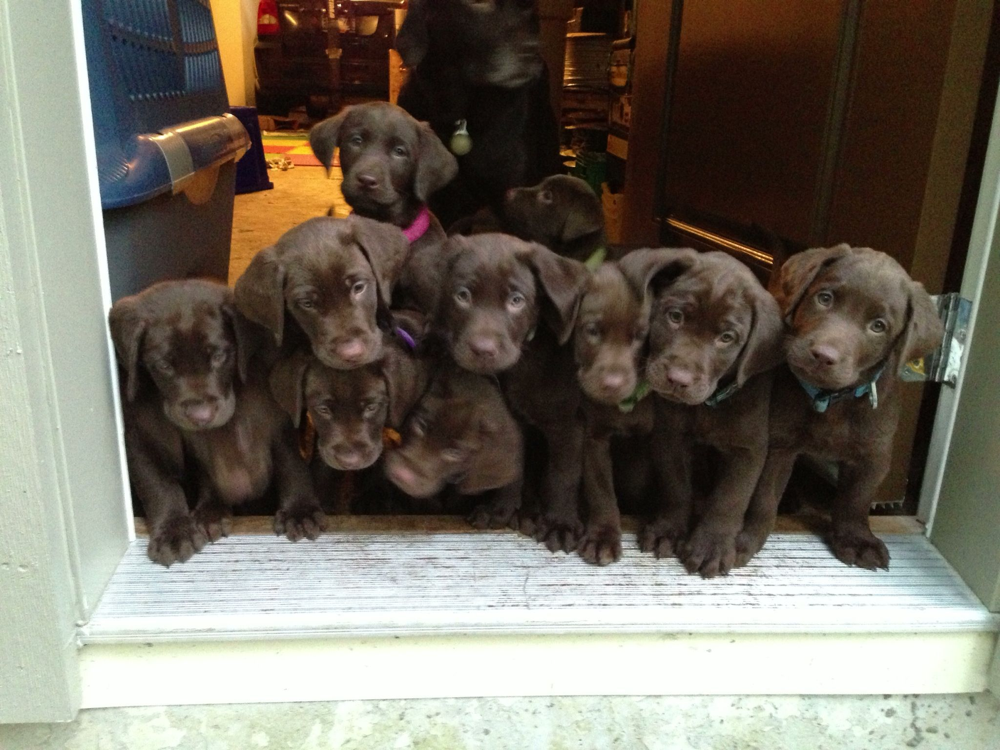 Chocolate Lab Puppies These Puppies Were Actually All Mine At One Point Because They Were My Dogs Litter B Chocolate Lab Puppies Labrador Puppy Lab Puppies