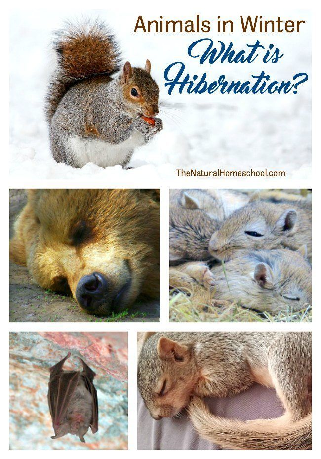 Animals in Winter Unit: What is Hibernation? - The Natural Homeschool