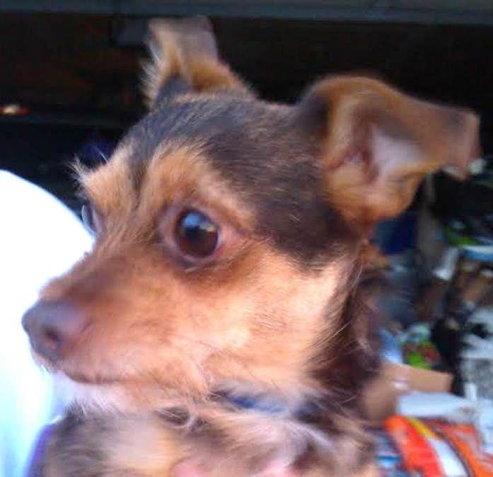 Meet Little Joe Loving little companion a Petfinder