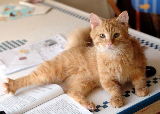 Wallaby The Rescue Dwarf Cat Katzen Rassen Katzenrassen Katzen