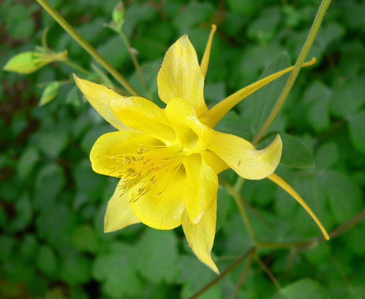 Aquilegia Chrysantha Native Shade Loving Attract Hummingbirds Plants Perennials Perennial Bulbs