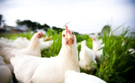 Lawsuit Seeks Justice for 50,000 Hens left without food and