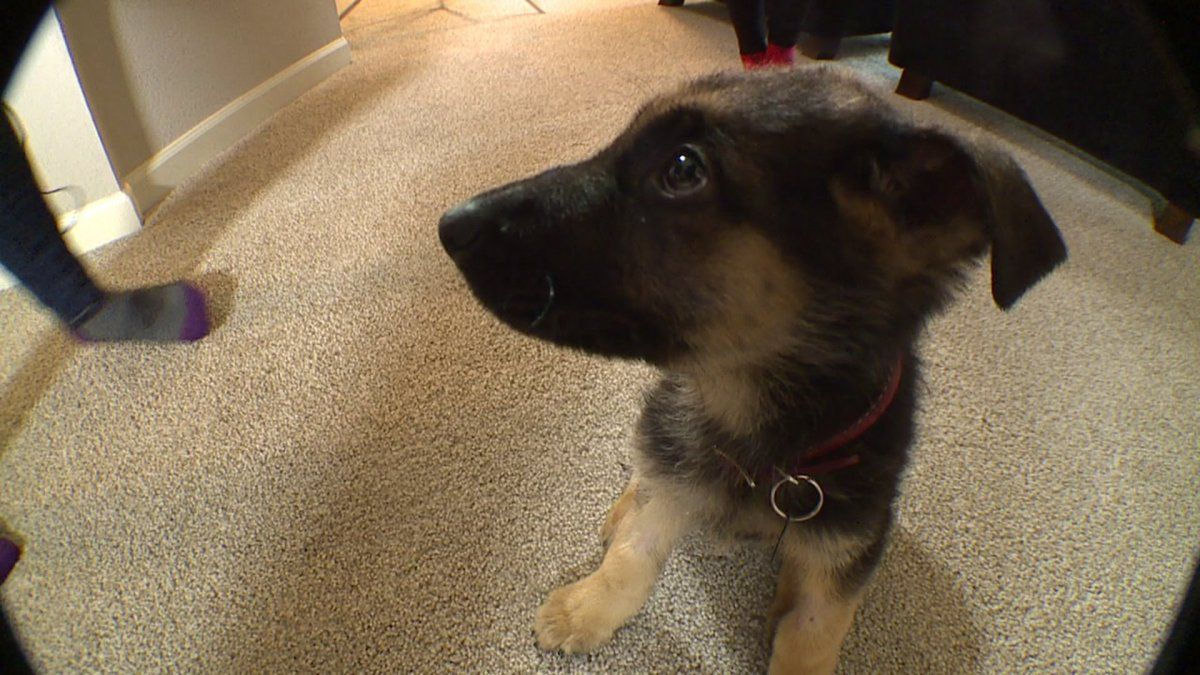 Puppy sold on Craigslist costs new owners 5,600 in vet