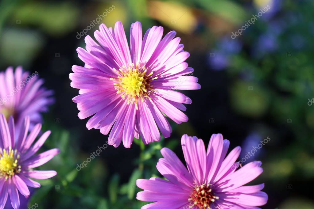 Pink Aster Flower Head Against It S Natural Foliage Background Flowers And Ad Flower Head Pink Aster Ad In 2020 Aster Flower Foliage Flowers