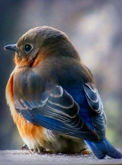 Baby Bluebird ༽༽ More #birdhouses