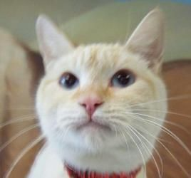 Adopt Snowball On Siamese Cats Siamese Kittens Cats