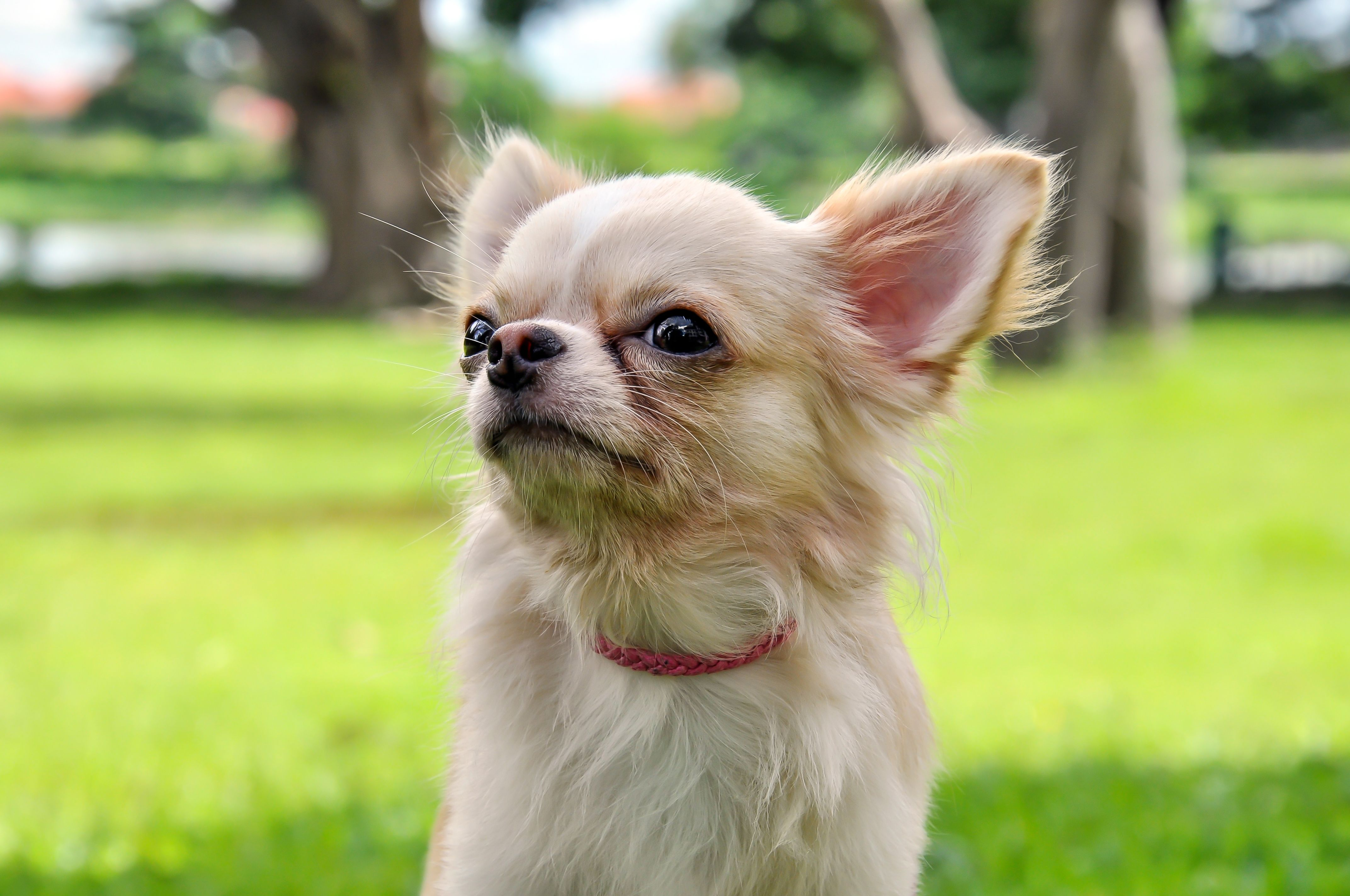Chihuahua In The Park Lovely Dog Choice Puppy Dog Pets Puppies Pets Chihuahua