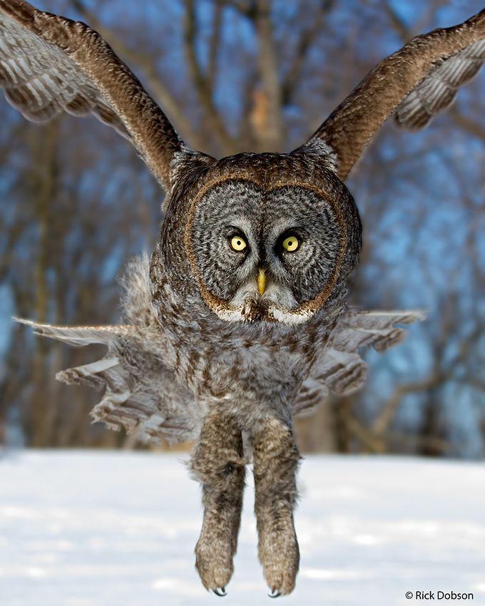 Great Grey Owl Irruption 2012/13 | Great grey owl, Owl ...