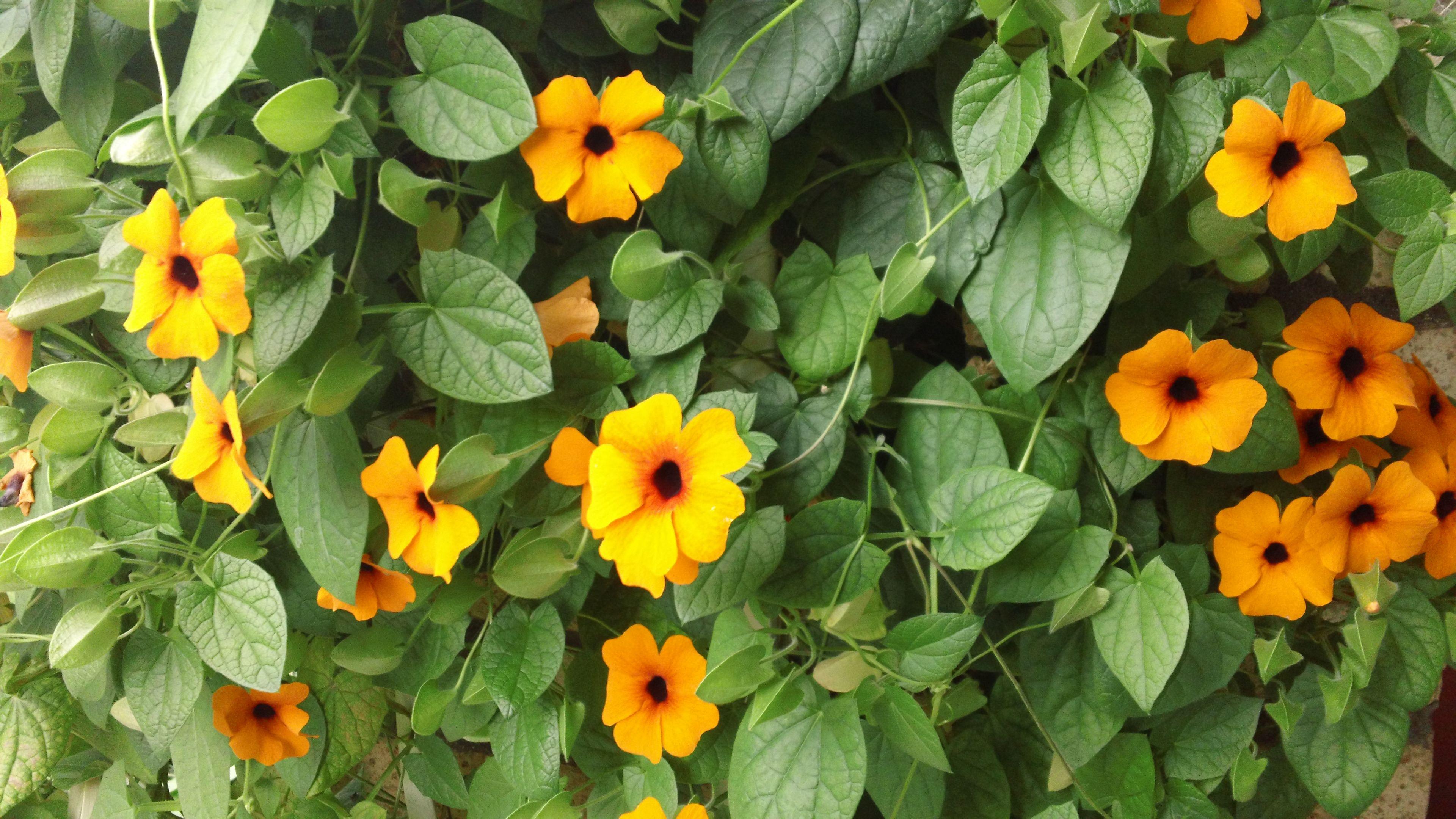 Black Eyed Susan Vines Home Garden Pinterest