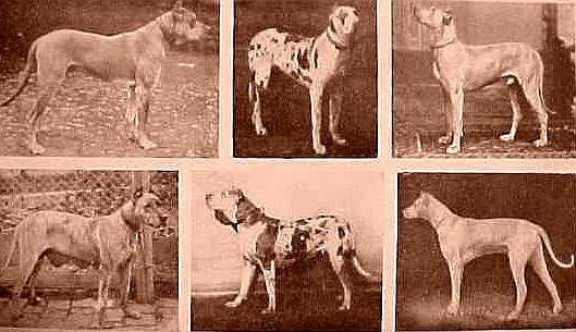 Molosser Dogs Gallery Great Dane Deutsche Dogge Vintage