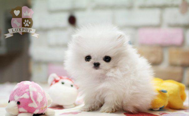 Teacup White Pomeranian White Pomeranian Puppies Cute Baby Puppies White Pomeranian
