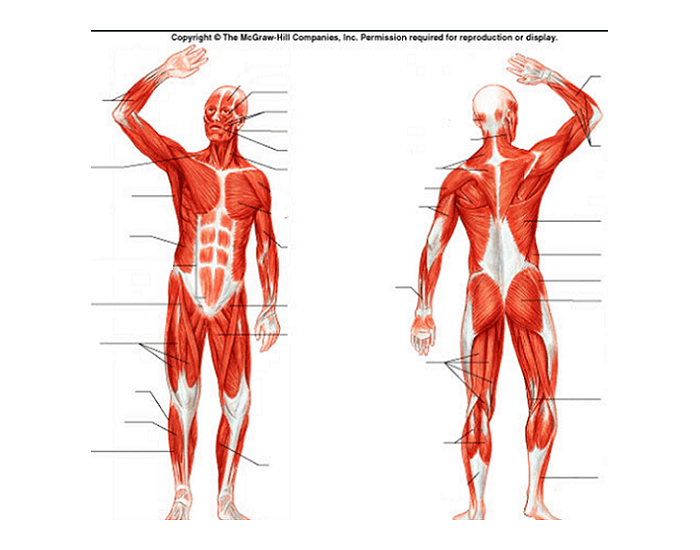 Human Muscles Of The Body Diagram Unlabeled | PE Poster
