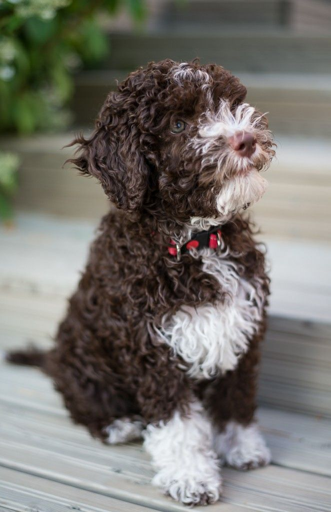 animals by pin user0 in 2020 Lagotto romagnolo puppy
