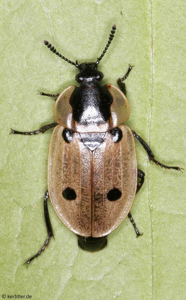 Xylodrepa quadrimaculata
