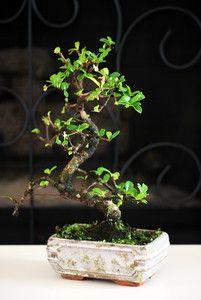 Fukien Tea Tree Bonsai