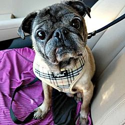 Available Pets At Dfw Pug Rescue Club Inc In Grapevine Texas