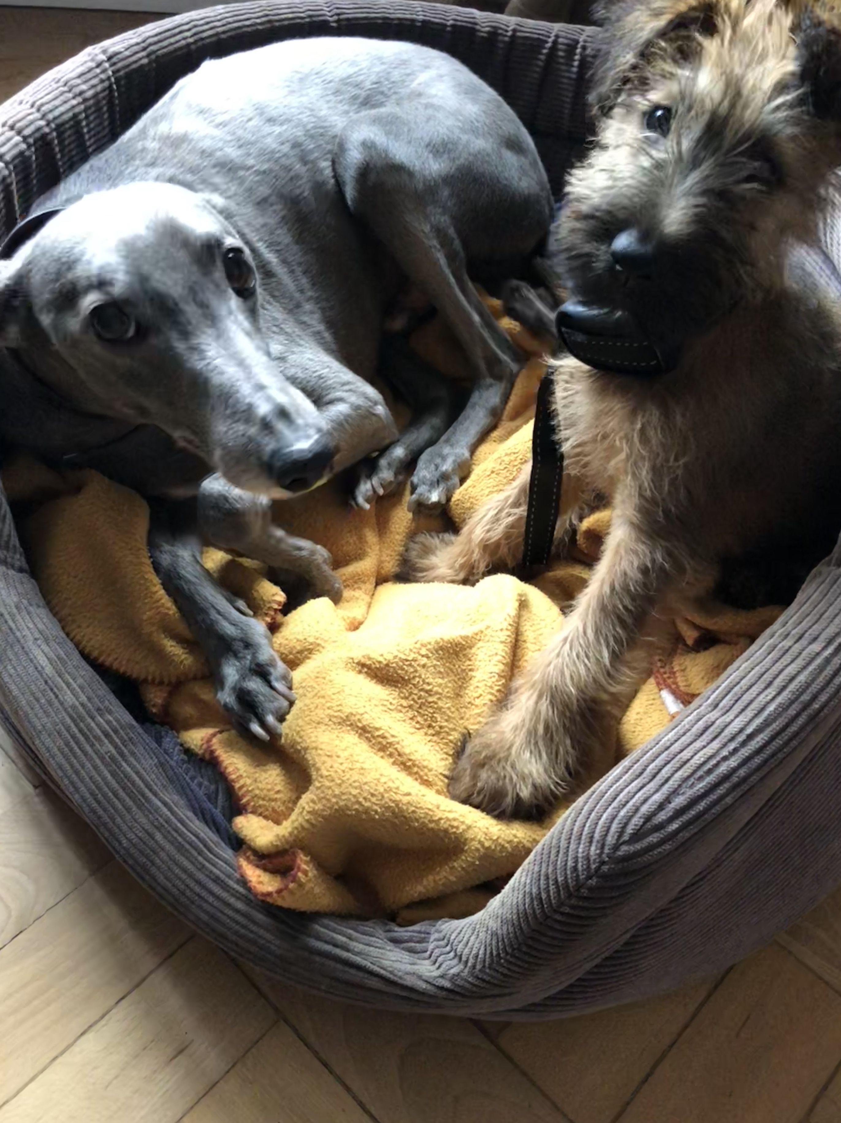 Pin by Sylvia Lackner on Irish terrier Irish terrier