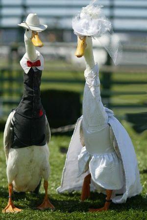 アヒルのファッションショーがお洒落で可愛すぎる Naver まとめ Pet Ducks Funny Birds Cute Funny Animals