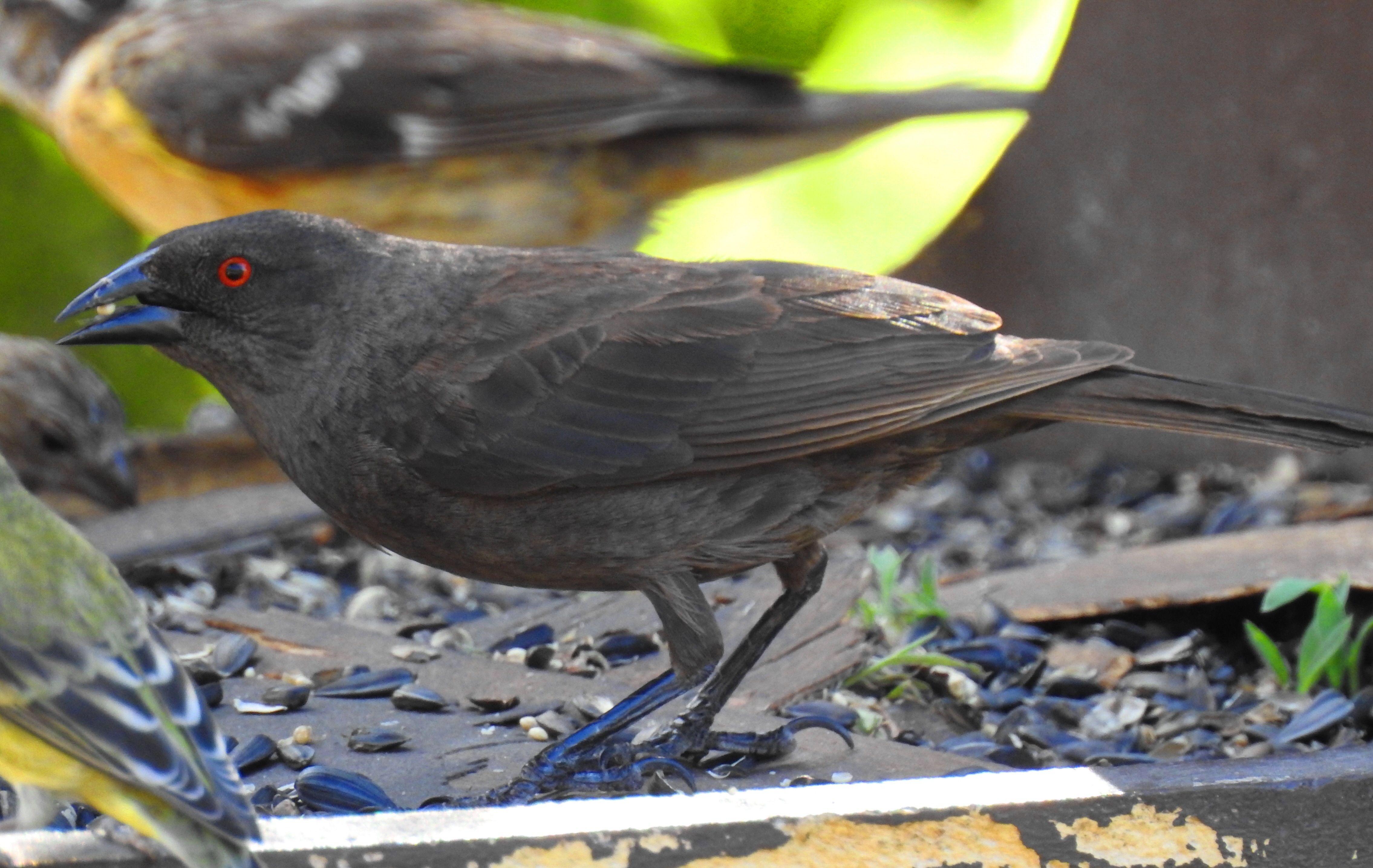 Bronzed Cowbird-f- (2)