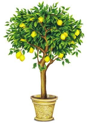 Lemon Tree Drawing Bing Images Tree Art Lemon Tree Bonsai