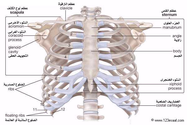 رائع شرح جسم الإنسان للطفل الهيكل العظمى و القفص الصدرى و المخ و الجهاز الهضمى بالصور والفيديو Human Ribs Thoracic Cage Thoracic Cavity