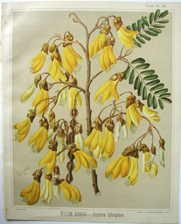 Sarah Featon, Yellow Kowhai - Sara FEATON  Hand-coloured engravings from The Art Album of New Zealand Flora, 1889. It contained descriptions of the native flowering plants of New Zealand and the adjacent islands.
