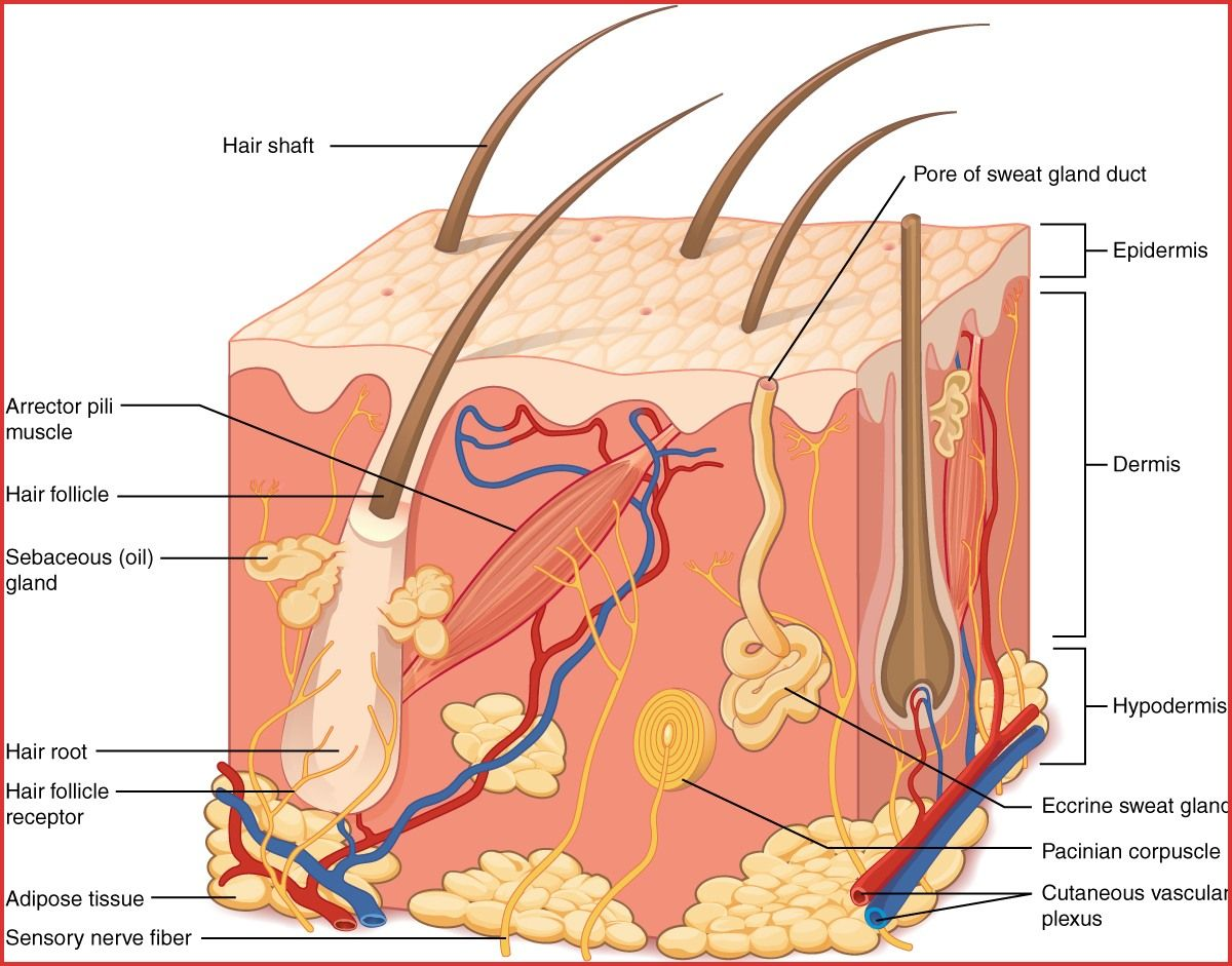 Labeled Hair Follicle Diagram Labeled Hair Follicle