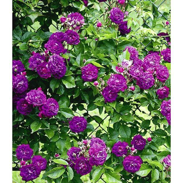 Rambler-Rose 'Bleu Magenta', 1 Pflanze - BALDUR-Garten GmbH