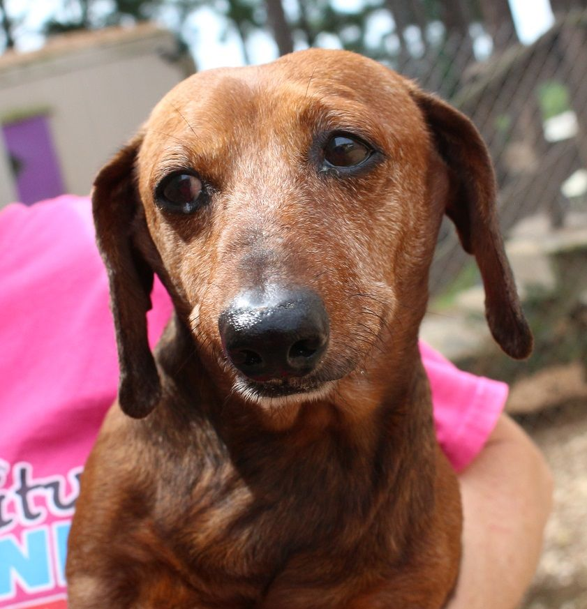 Dachshund Dog For Adoption In Canton Ct Adn 644811 On