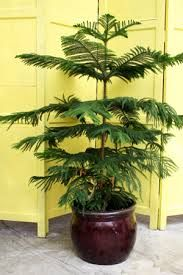 norfolk pine houseplant it seemed like everyone had one in the