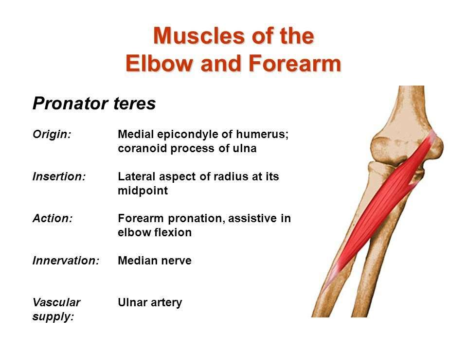 Image result for pronator teres innervation   Anatomy   Pinterest ...