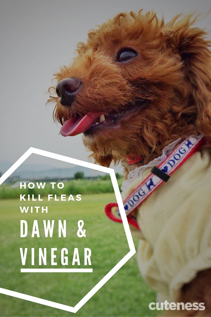 Pin On Get Rid Of Fleas In House