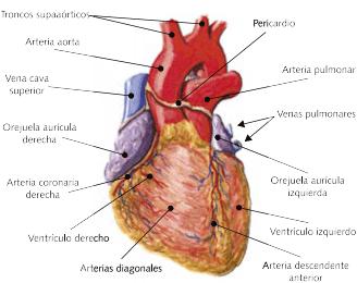 Pin De Andrea Cruz En Tareas Corazones Arterias Coronarias Ventriculo Izquierdo