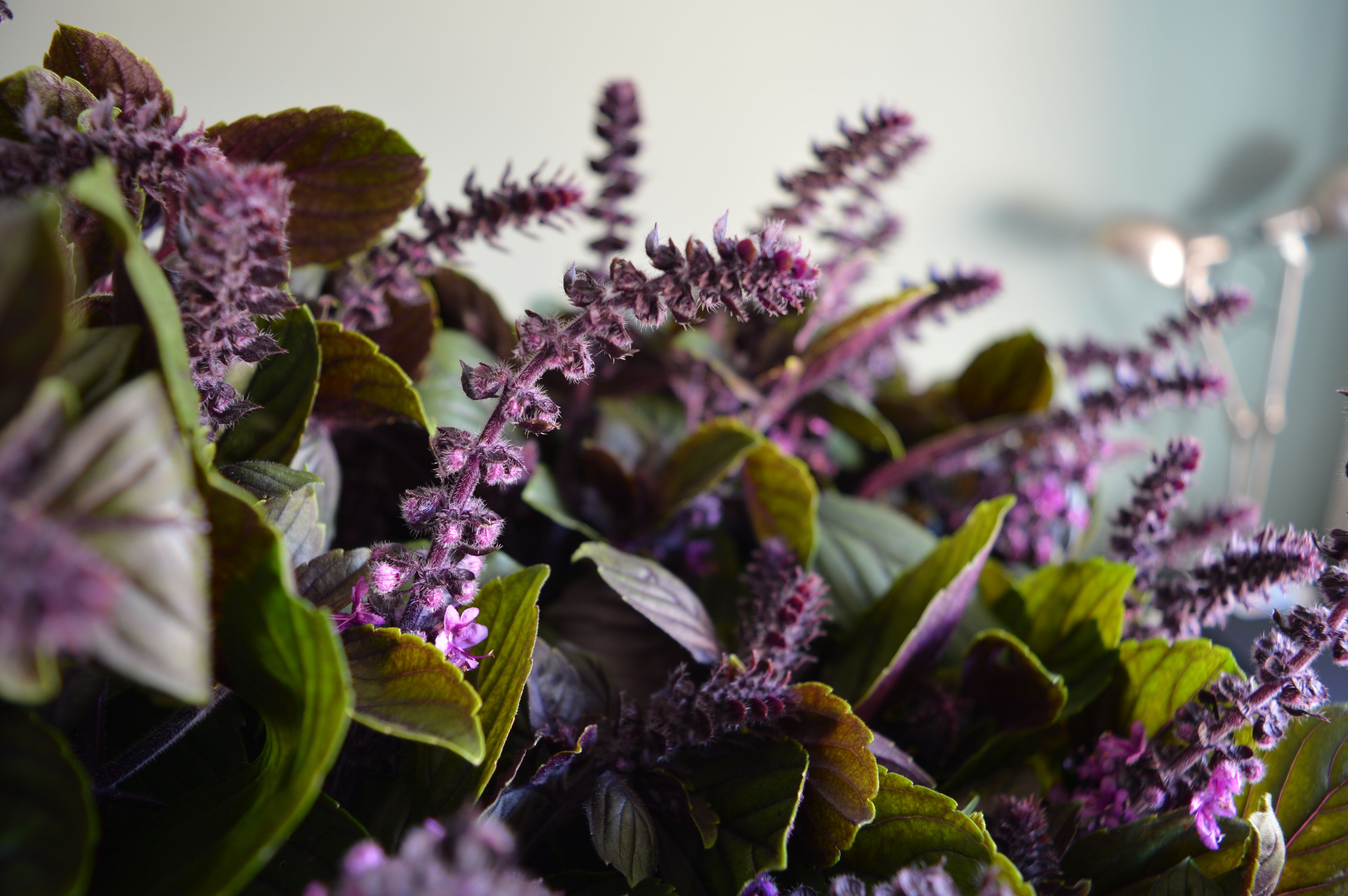 Purple Basil grown in the UK and supplied by Blooming British/ARGO flowers.