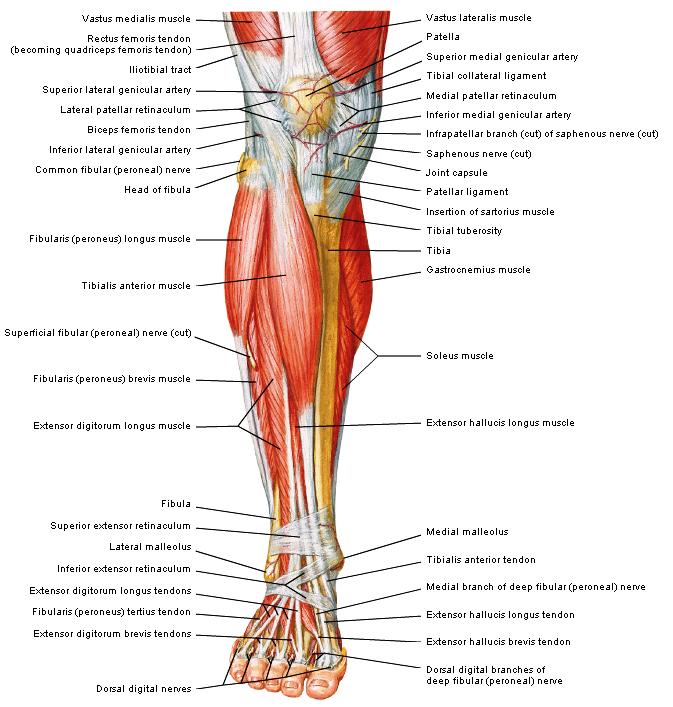 anatomie been