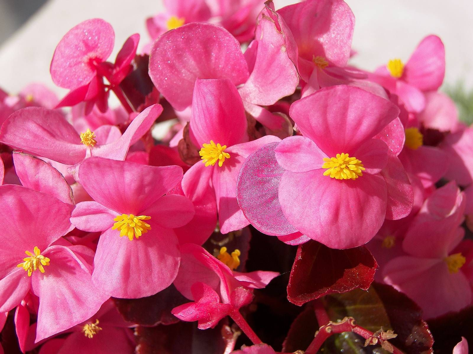 Potare Il Ficus Elastica pink begonia (with images) | flowers, begonia