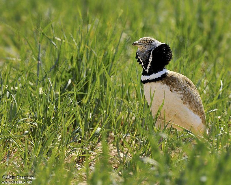 un oiseau à découvrir -ajonc- 6 janvier bravo Martine 6505ef2278607069effafdcfa6bbed39
