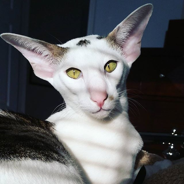 Oriental Shorthair Those Ears Oriental Shorthair Oriental