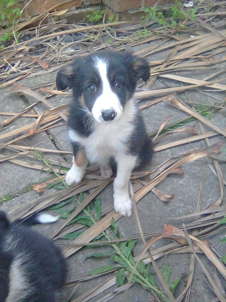 Beautiful Border Collie Pups For Sale Tri Coloured Two Girls