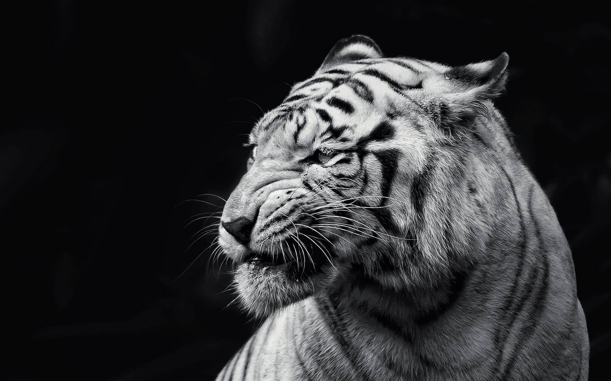 Wallpapers Macbook Pro Pesquisa Google Tiger Wallpaper Animals Animal Wallpaper