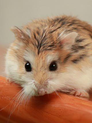 Hamster Roborovski Klein Hamster Zwerghamster Susse Hamster