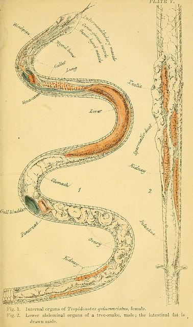 Snake Anatomy Anatomy Botany Biology Entomology Science Etc