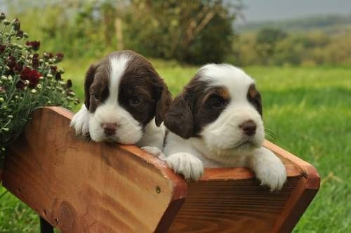 Tri Color Liver English Springer Spaniels