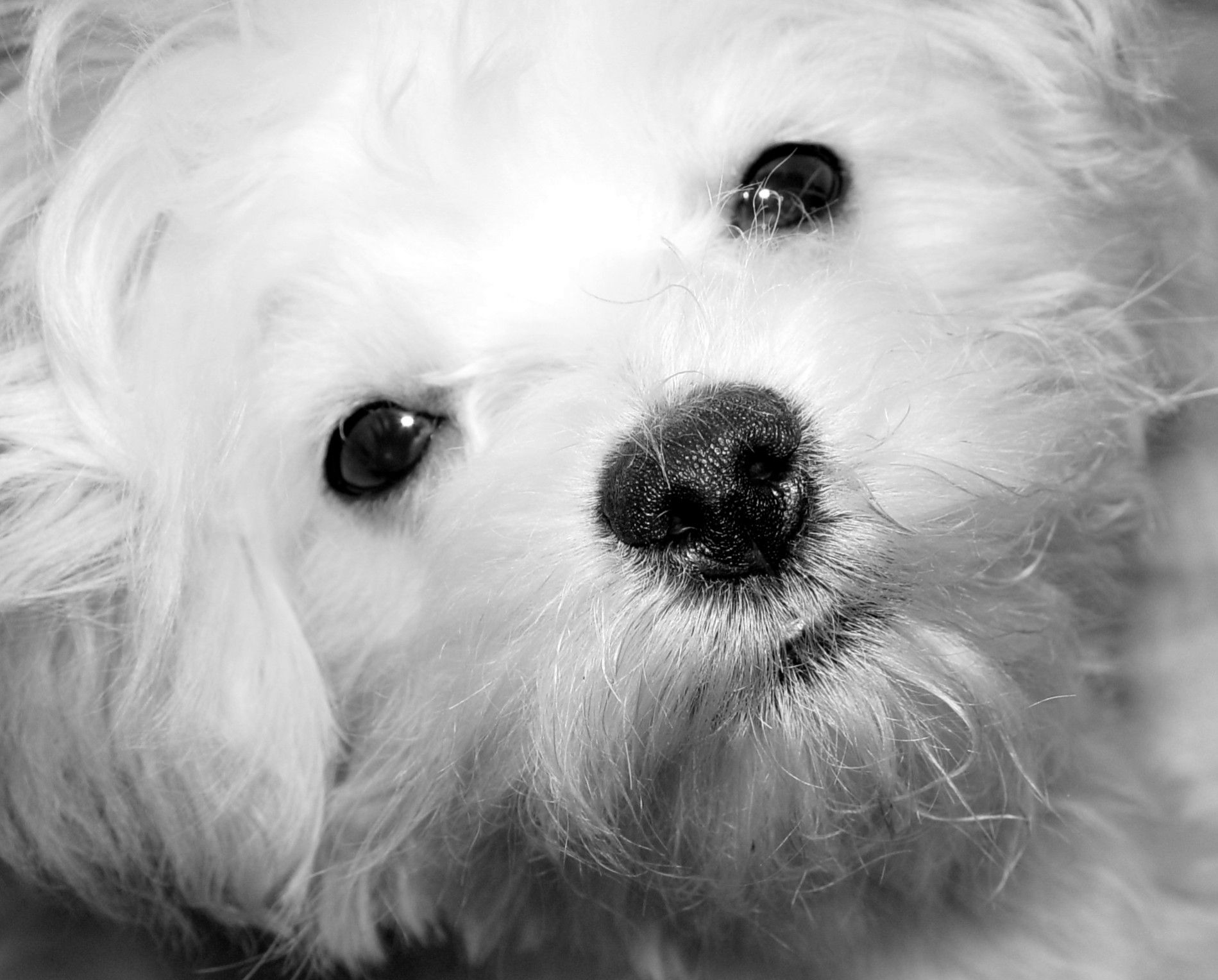 """My little """"B"""" maltipoo love Maltese and poodle mix"""