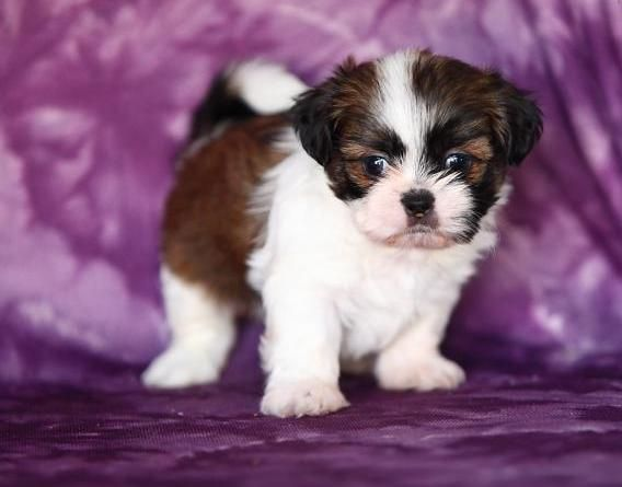 Puppies For Sale Shih Tzu Puppies For Sale Puppies For Sale