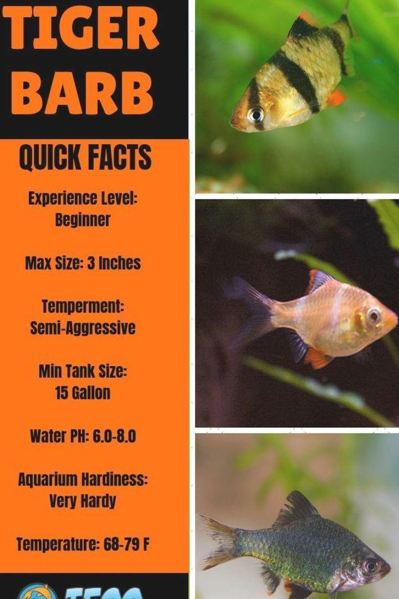 Pin On Tiger Barb Fish