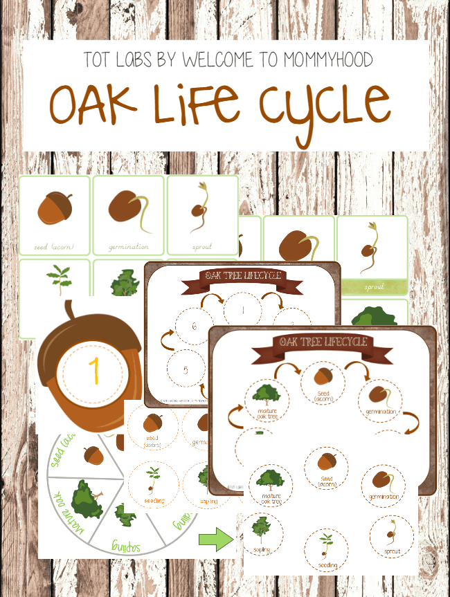 Montessori Inspired Oak Tree Life Cycle Printables Acorn Printables
